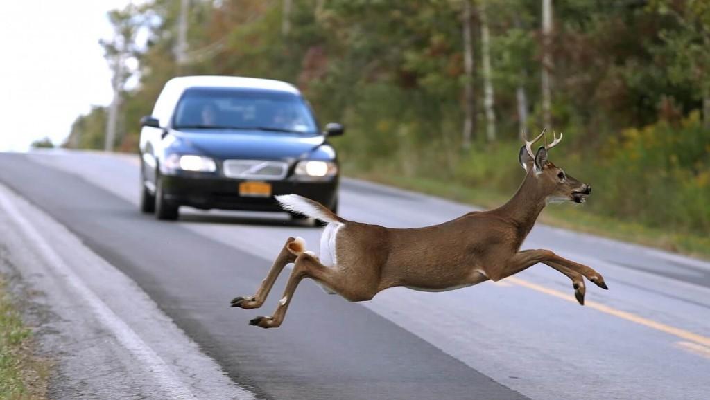 Naletite li autom na životinju obavezni ste prijaviti nesreću.